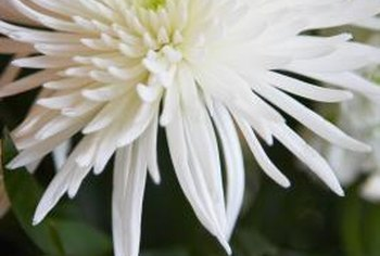 Spider mums contain dozens of long, narrow petals on a single stem.