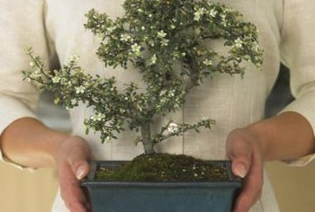 Although established bonsai can be purchased, shaping a seedling is an accomplishment.