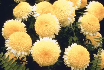 Pyrethrum, an insecticide, is manufactured from chrysanthemum oils and dried petals.