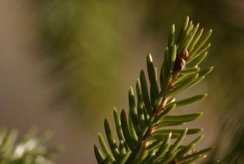 Spruce tree needles grow individually rather than in the clusters you find on pine trees.