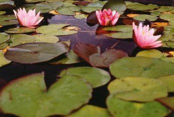 Add water lilies to a garden pond for a splash of color.
