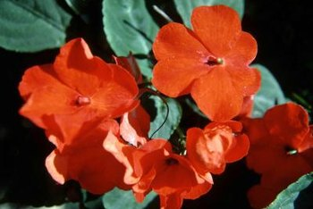 Red impatiens add a splash of bright color to areas of deep shade.
