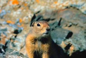 Gophers are most easily caught at dawn, which is their most active period.