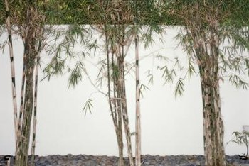 Use clumping bamboo to create screens, hedges and focal points in your landscaping.