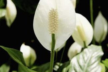 The flower of peace lily is a central spadix surrounded by a hooded spathe.