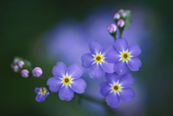 Plant forget-me-nots in beds with companion flowers grown from bulbs.