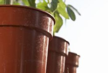 Tomato plants with short compact vines are the best varieties for planting in containers.