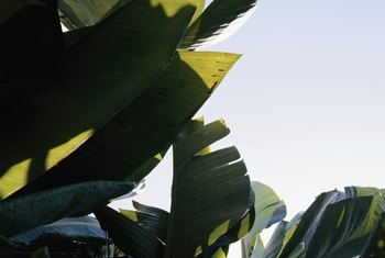 Grown in full sun, red banana leaves may turn completely green.