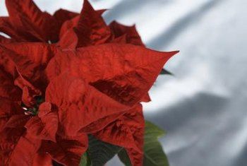 Keep the poinsettias and help them turn red for next year.