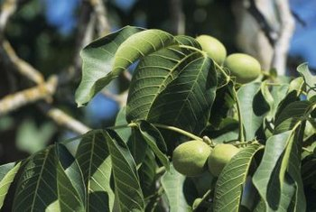Walnut seeds must be gathered after the fruit has ripened.