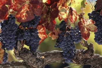 Grapes produce best with careful cane and shoot maintenance.