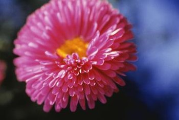 Yellow centers are characteristic of China aster blooms.