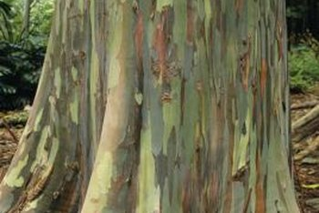 The bark of the Eucalyptus deglupta can appear green, yellow, brown or purple.