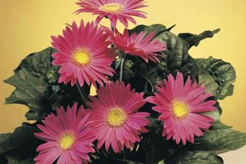 Pyrethrum is derived from daisies in the Chrysanthemum family.
