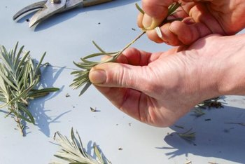 Remove the lower leaves on cuttings before planting.