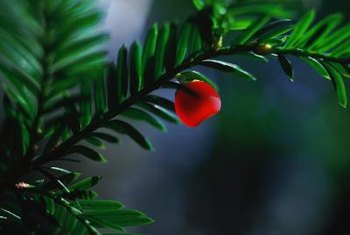 Red berries provide a striking contrast to the rich green foliage.