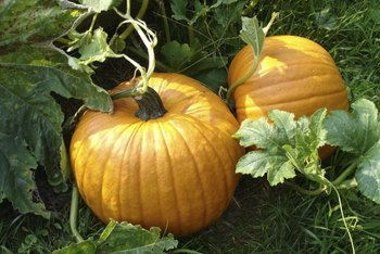 Pumpkins and cucumbers are cousins.