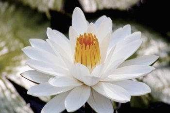 Yellow stigmas and stamens of water lilies are surrounded by petals.
