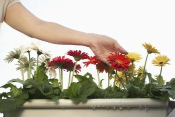 Gerbera daisies make a bold statement as window box plants.