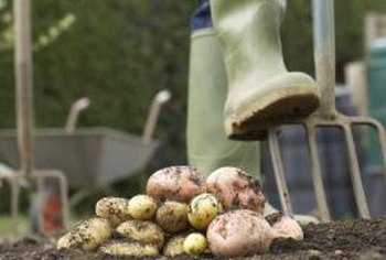 Potatoes not only reap benefits from companion plants, but also return the favor.