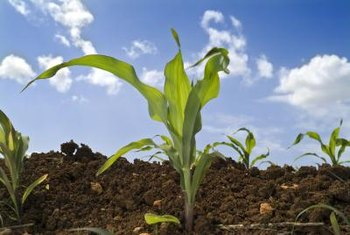 Sweet corn seeds sprout best in moist soil.