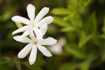 Star jasmine vine produces showy, sweet-smelling flowers.