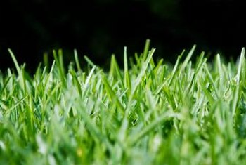 St. Augustine grass is a dense, blue-green lawn grass with wide leaves.
