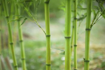 Bamboo canes have prominent joints, called nodes.
