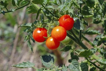 Saving seeds lets you grow a favorite tomato variety in your garden again.