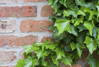 Ivy covers walls, trees and everything else when left unchecked.
