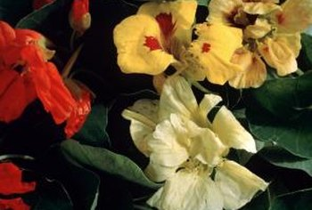 Soaking weakens the hard seed coat of flowers like nasturtiums.
