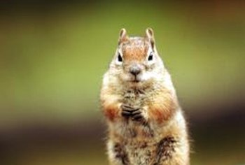 Squirrels can damage crops and ornamental plants.