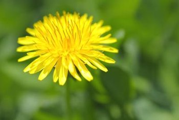 Dandelions have edible leaves and flowers.