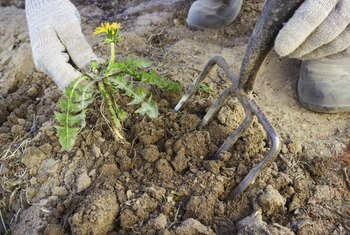 Plants with taproots can grow back if not completely dug up.