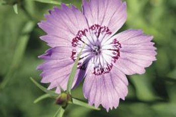 Dianthus' little flowers often have the strong scent of cloves.