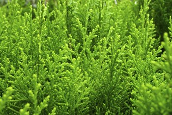 Arborvitae are a slow-growing evergreen tree that are good for hedging.