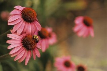 Coneflowers attract honeybees, hummingbirds and butterflies to the garden.