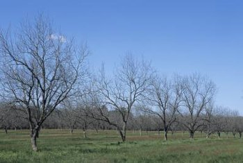 Propagating pecan trees by cuttings produces plants with the same makeup as the original.