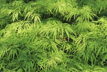 Laceleaf maple shrubs produce a fine texture in the yard.