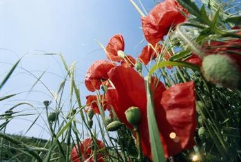 You might think all poppies are red, but they bloom in a rainbow of colors.