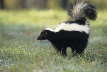 Skunks digging in flowerbeds can kill plants.