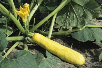 Yellow squash plants can grow 2 to 4 feet wide.