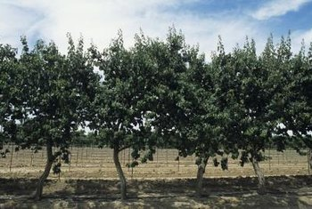 Pruning apricot trees controls their shape and size.