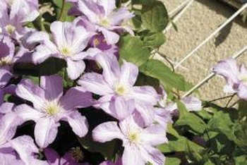 Clematis species often work well on trellises.