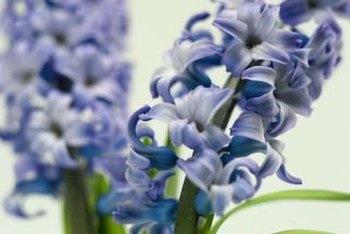 Forcing hyacinths in water allows you to enjoy their beauty in the midst of winter.