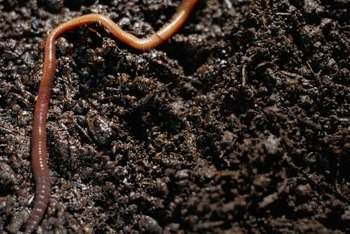 An earthworm's diet is largely decaying plant matter.