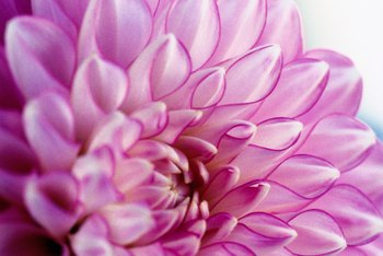 Dahlias are tender perennials.