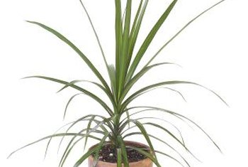 The trunk-like stems of the Madagascar dragon tree can be trained to twist.