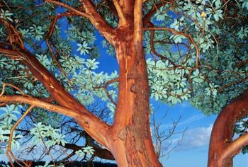 Madrone trees are evergreens displaying interesting bark characteristics.