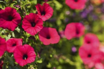 Miniature petunias grow an abundance of small flowers.